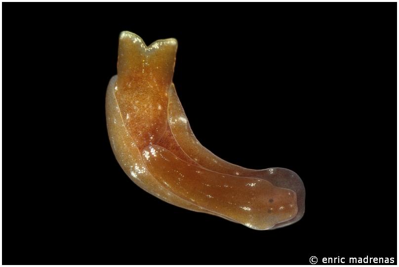 Melanochlamys wildpretii by Enric Madrenas