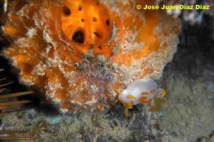 Trapania orteai sobre esponja (Tethya aurantium), playa de la Caleta (Cádiz) por José Juan Díaz Díaz