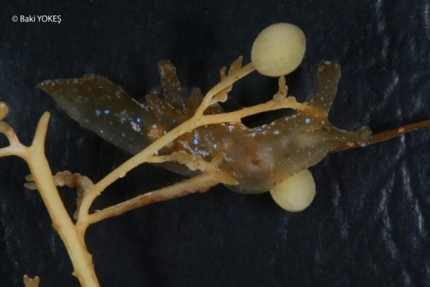 Scyllaea pelagica by Baki Yokes @ 20090802 Kas, Turquia surface, on floating Sargassum sp.