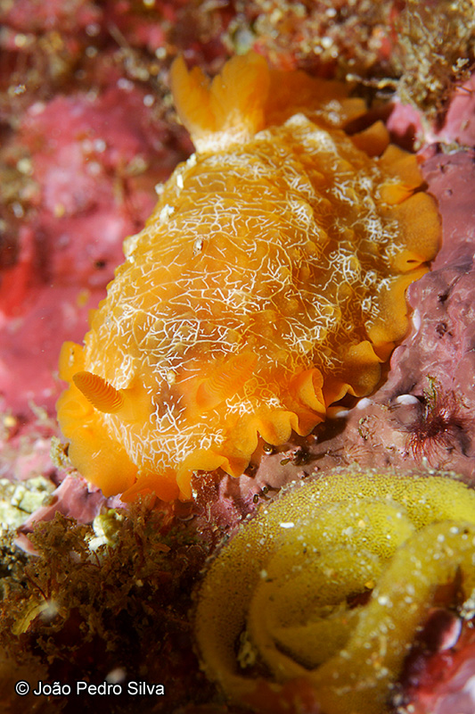 Doriopsilla areolata (Portugal) by Joao Pedro Silva