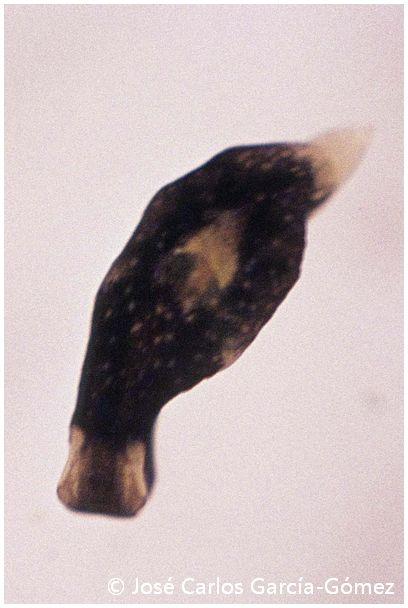 Limapontia capitata by José Carlos García Gómez
