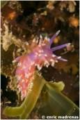 Piseinotecus soussi by Enric Madrenas (21-04-2012)