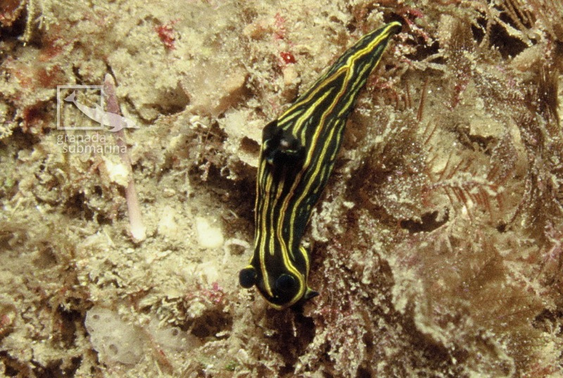 Tambja marbellensis by Sergio López González (www.granadasubmarina.org)