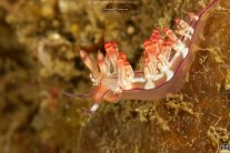 Flabellina rubrolineata by Sonja Ooms
