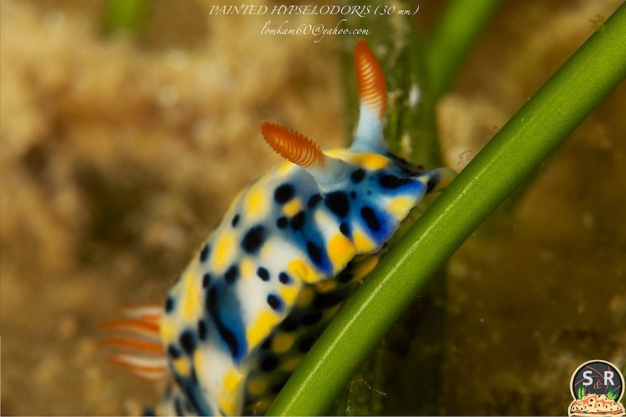 Hypselodoris infucata by Sonja Ooms