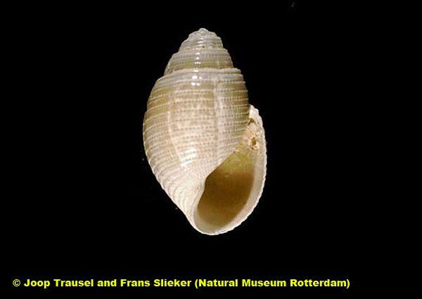 Acteon monterosatoi @ Bahía de Cádiz by Joop Trausel and Frans Slieker (Natural Museum Rotterdam)