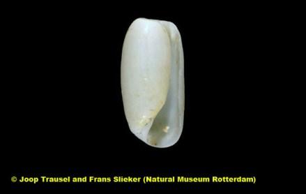 Cylichna alba @ Senja Island, Troms, Norway by Joop Trausel and Frans Slieker (Natural Museum Rotterdam)