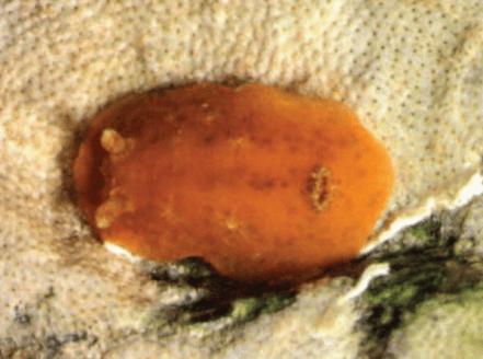 Geitodoris bacalladoi by Luis Sánchez Tocino