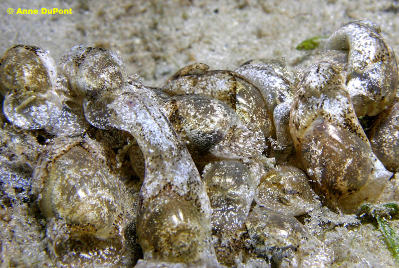 Haminoea elegans @ near Peanut Island, Palm Beach Inlet, Palm Beach County, Florida, 21-07-2010 by Anne DuPont