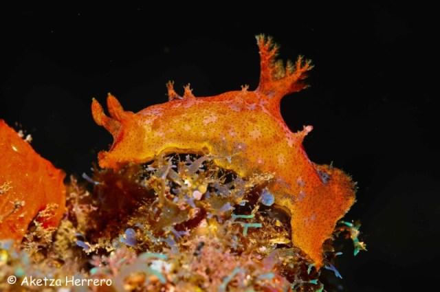 Plocamopherus maderae @ Gran Canaria by Aketza Herrero