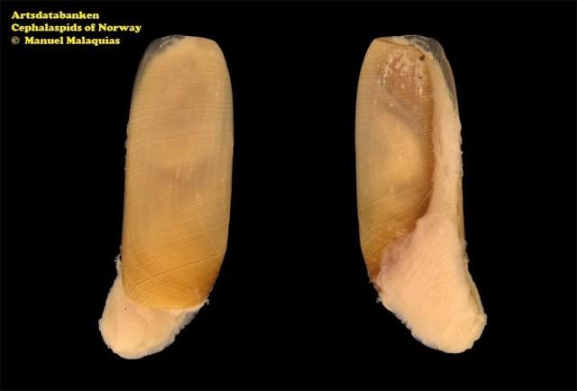 Cylichna cylindracea @ Artsdatabanken - Cephalaspids of Norway - by Manuel Malaquias