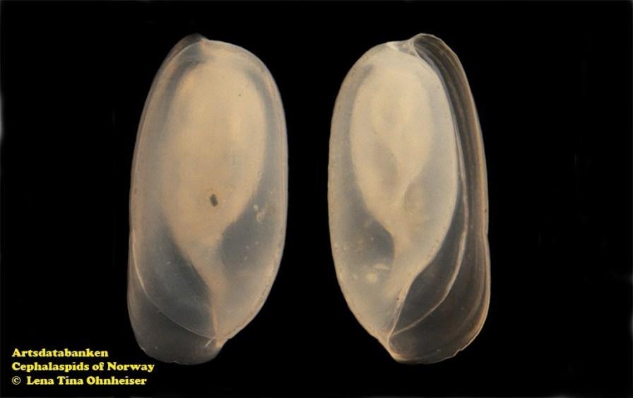 Retusa umbilicata @ Artsdatabanken - Cephalaspids of Norway - by Lena Tina Ohnheiser