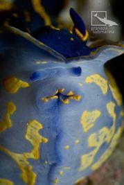 Felimare picta mouth detail @ Los Berengueles, Granada by Sergio López (GranadaSubmarina.com)