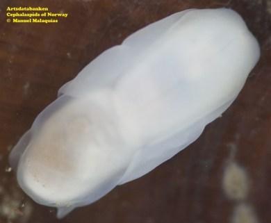Hermania scabra @ Artsdatabanken - Cephalaspids of Norway - by Manuel Malaquias