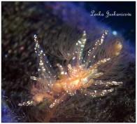 Hermaea bifida @ Mallorca by Lenka Juskaničová