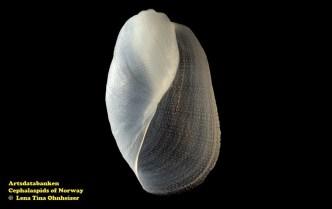 Philine lima @ Artsdatabanken - Cephalaspids of Norway - by Lena Tina Ohnheiser