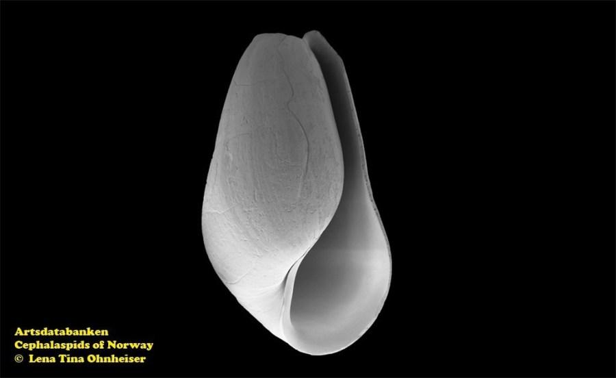 Pyrunculus ovatus @ Artsdatabanken - Cephalaspids of Norway - by Lena Tina Ohnheiser