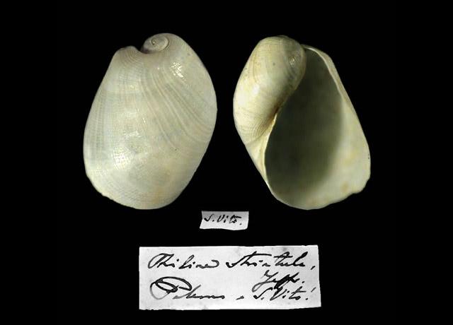 Philine striatula. Colezzione malacologiche del Museo Civico di Zoologia, Roma