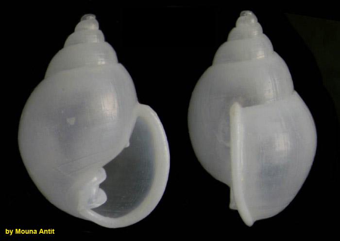 Ringicula auriculata (Ménard de la Groye, 1811) Specimen from La Goulette, Tunisia (soft bottoms 10-15 m, 19.01.2010), actual size 3.4 mm