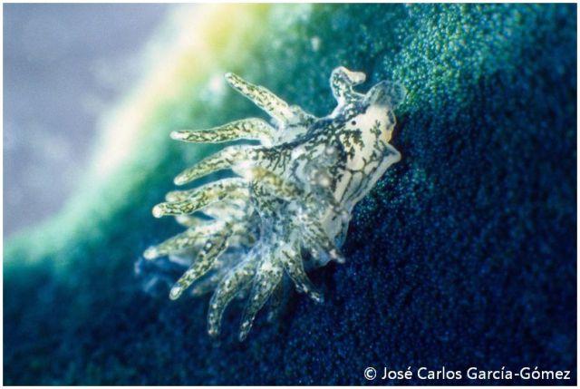 Placida brevicornis by José Carlos García Gómez