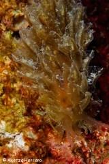 Polybranchia viridis @ Islas Canarias by Aketza Herrero