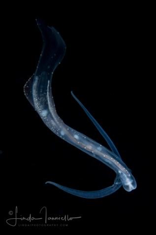Phylliroe lichtensteinii 3-01-2017 by Linda Ianello
