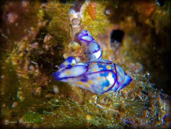 Haminoea cyanomarginata @ Ammouliani island, Halkidiki, Greece 22-10-2015 by Yiannis Iliopoulos