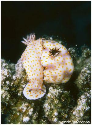 Hypselodoris pulchella @ Red Sea by Enric Madrenas