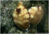Hypselodoris pulchella @ Red Sea by Enric Madrenasº