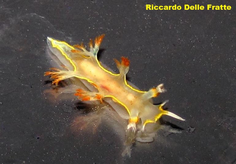 Tritoniopsis cincta @ Argentario, Italy 25-05-2012 by Riccardo Delle Fratte