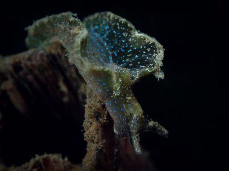 Elysia viridis @ Netherlands 3-01-17 by Stefan Verhayen