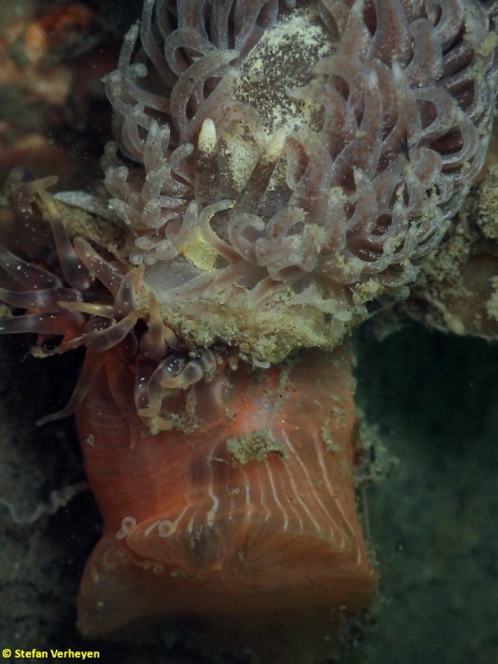 Aeolidia filomenae feeding on anemone @ Netherlands 21-04-2017 by Stefan Verheyen