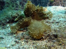 Melibe viridis @ Punta Japlenicka-island Ugljan, Croatia, length 45cm, depth 6m by Đani Iglic