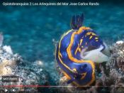 Opisthobranchs, Sea Harlequins