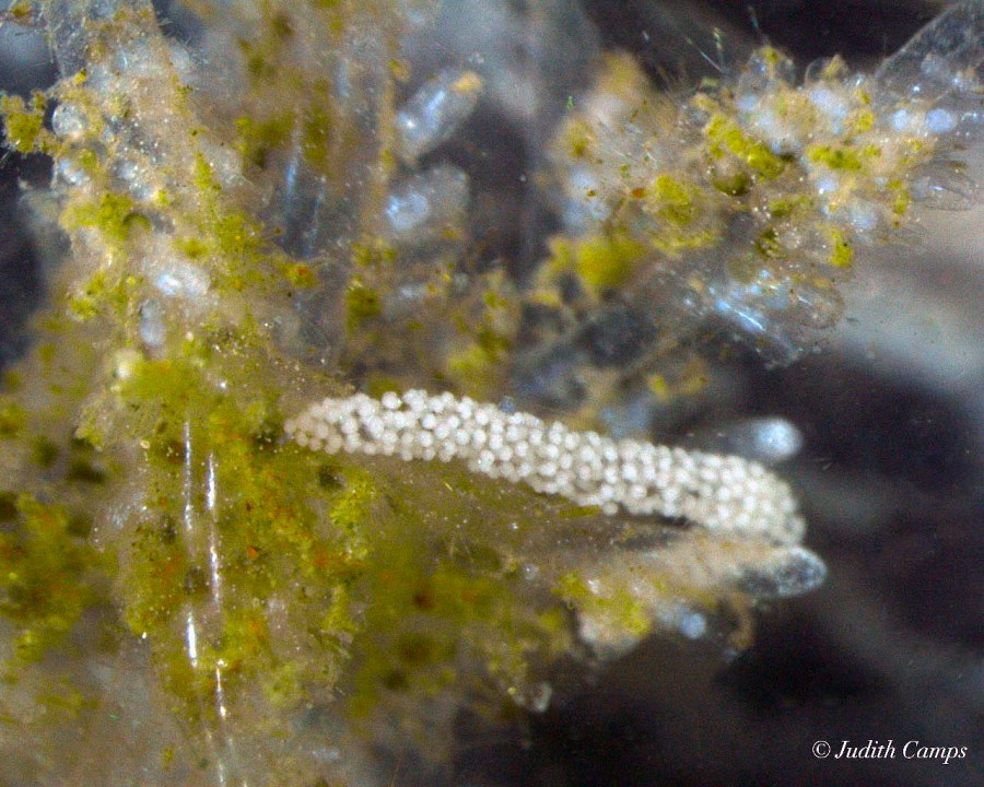 Polycerella emertoni spawn @ Badia dels Alfacs, Spain 2018-08-22 by Judith Camps