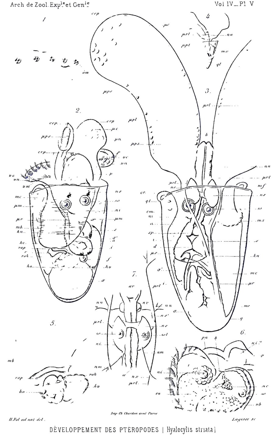 Hyalocylis striata by Fol, 1875