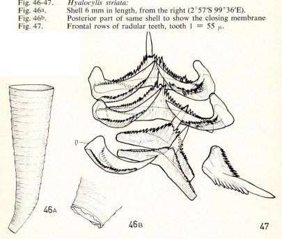 Hyalocylis striata by van der Spoel, 1967 (lic CC-BY)