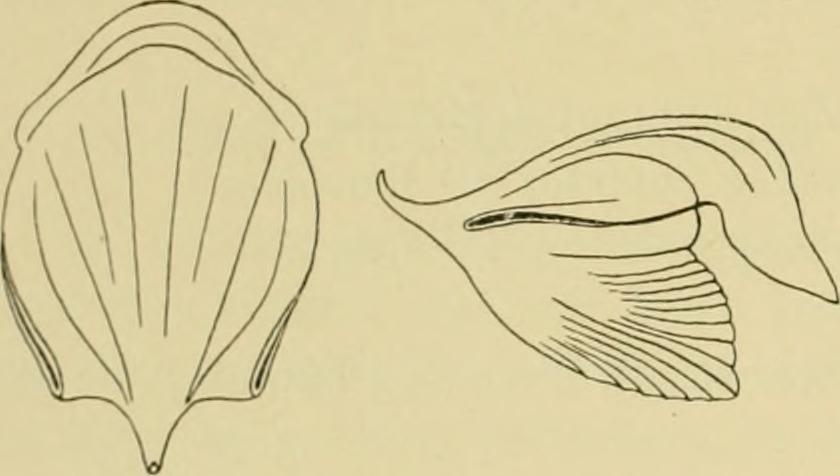 Cavolinia gibbosa