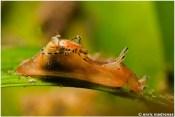 Aplysia parvula by Enric Madrenas