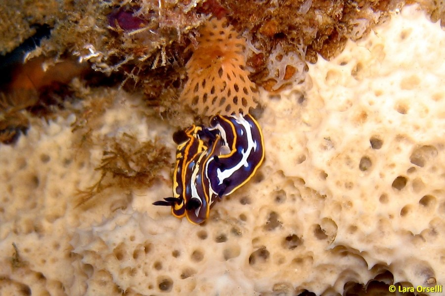 Felimare fontandraui mating and feeding @ Sicily, Italy by Lara Orselli