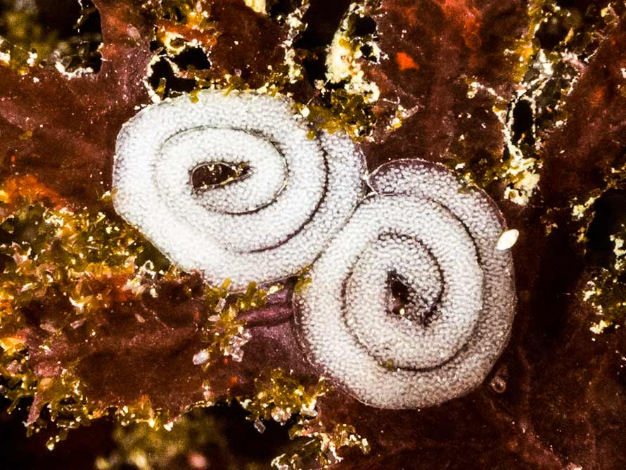 Limacia clavigera spawn @ Respect, Sound of Eigg, Scotland by Jim Anderson