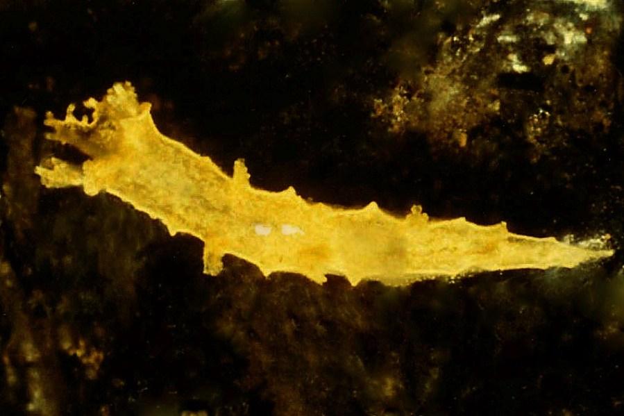 Tritonia taliartensis by Ortea et al (2009)