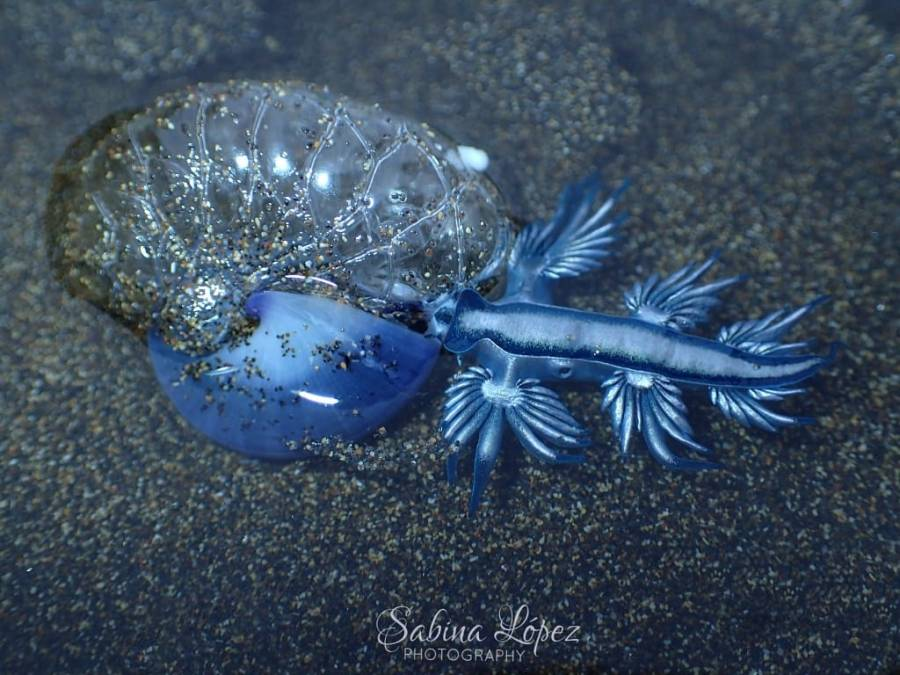 Glaucus atlanticus ~15mm with Janthina janthina sea snail @ Gran Canaria, Spain by Sabina López