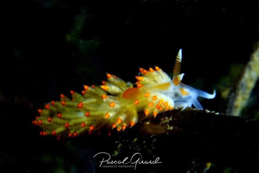 Berghia verrucicornis @ Etang de Thau, France by Pascal Girard
