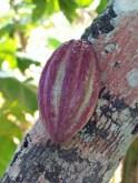 Kakao auf Kuba