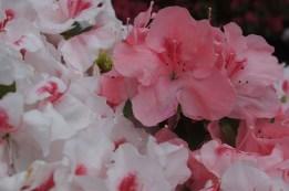 Rosa und weiße Blüten treiben aus einem Stamm