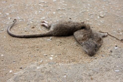 Ratte auf der Straße