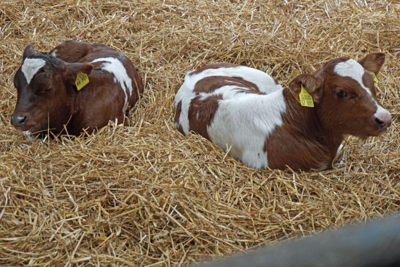 Kleine Kühe