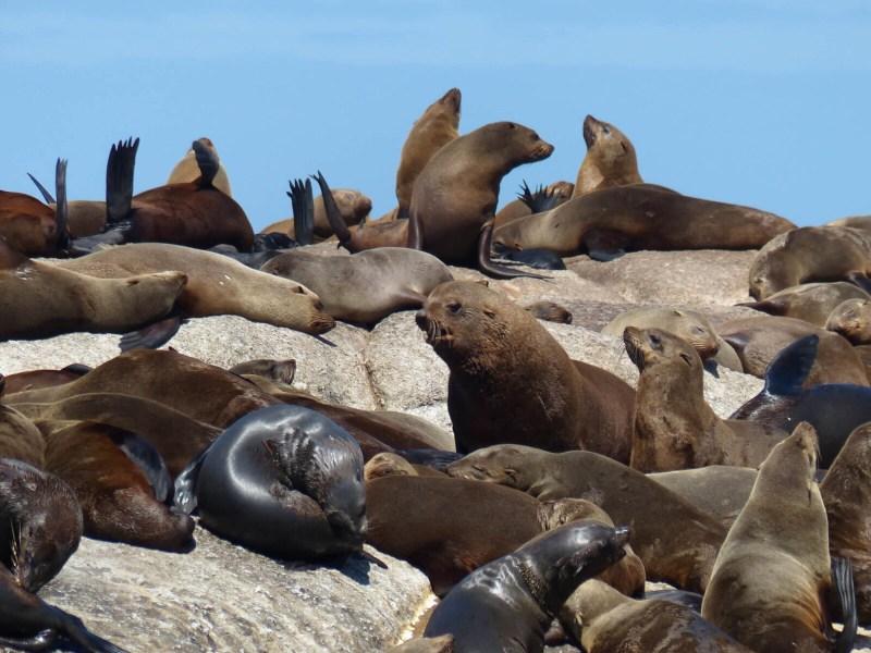 Seelöwen bei Kapstadt