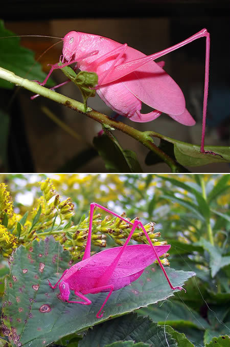 The Oblong-Winged katydid or bush cricket have a genetic mutation called erythrism which gives the insect its pink pigmentation.